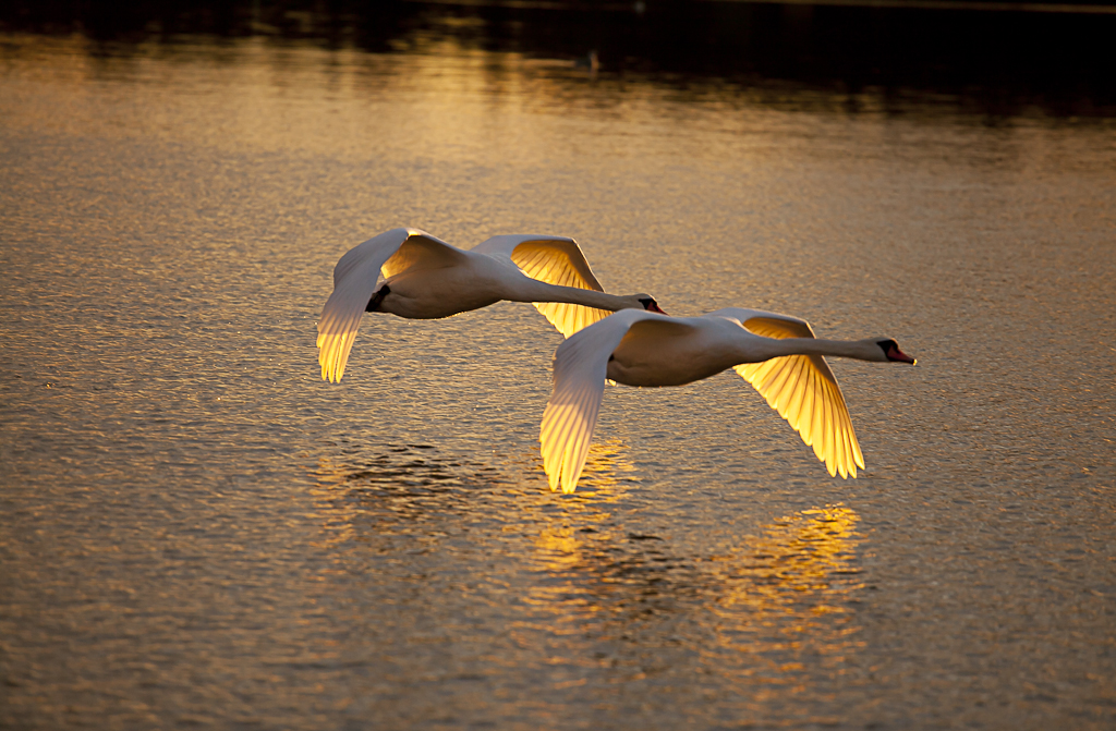 I realise that the first swan should be in focus, but it's not always easy to get it right when you have a split second. But, it was a beautiful evening and a great sunset, so I thought I'd post it anyway.